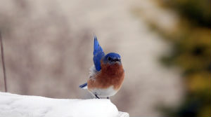Bluebird perched on snow with one wing raised